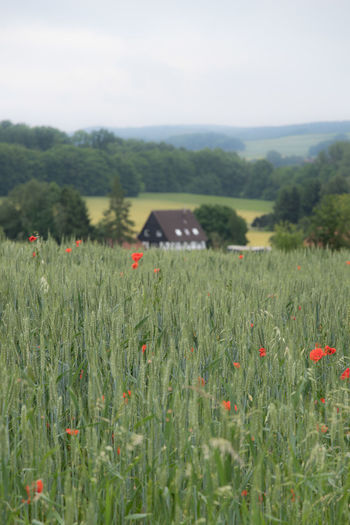 Alongside the way Agriculture Day Grain Hill Nature Nature_collection No People Poppy Flowers Rye Field Tree Valley Village