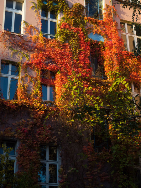 Architecture Autumn Autumn Colours Beauty Bright Building Exterior Built Structure Colourful Leaves Coulourful Creeper Plant Day Fall Fall Colors Green Growth Low Angle View Nature No People Outdoors Red Residential Building Tree Vibrance Window Capture Berlin