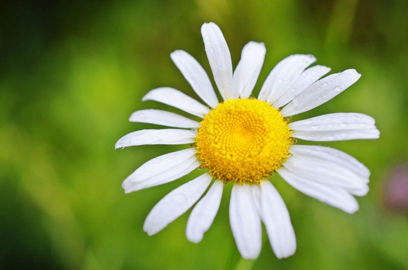 Daisy, Spring 2013(isn) Daisy Daisy Flower Flower Macro Nature Petals Weeds Yellow