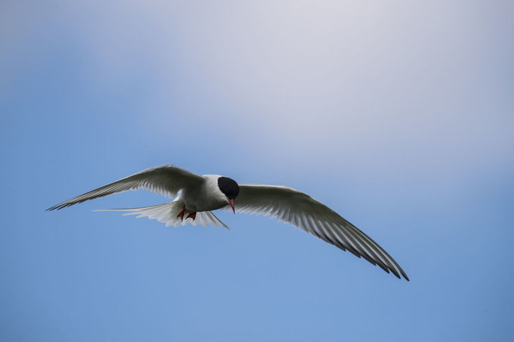 Low Angle View Of Arctic Tern Flying Against Blue Sky