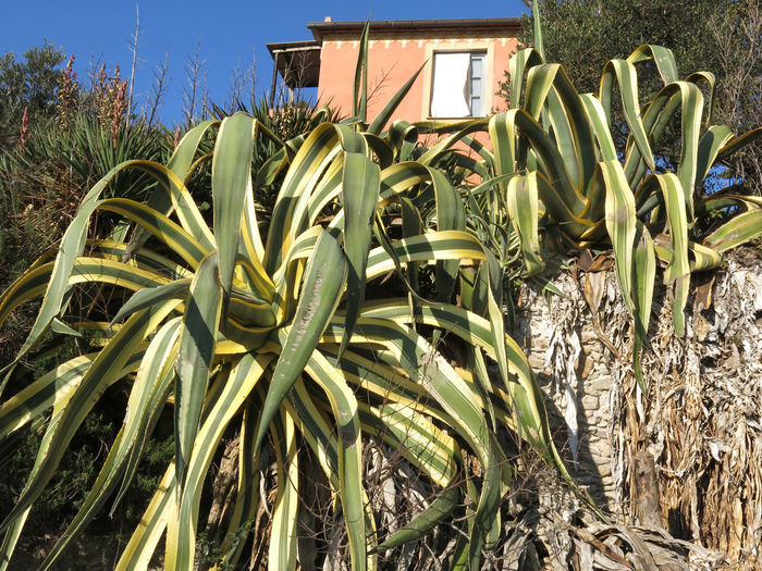Agave Agave Plant Agaves Architecture Beauty In Nature Building Exterior Day Growth House Houses Nature No People Outdoors Plant Roots Sky Stone Wall Stones Sunlight Wall