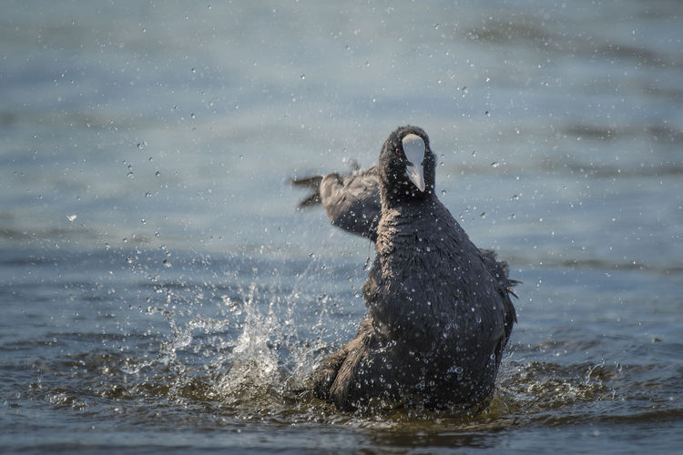 Coot splashing water in sea
