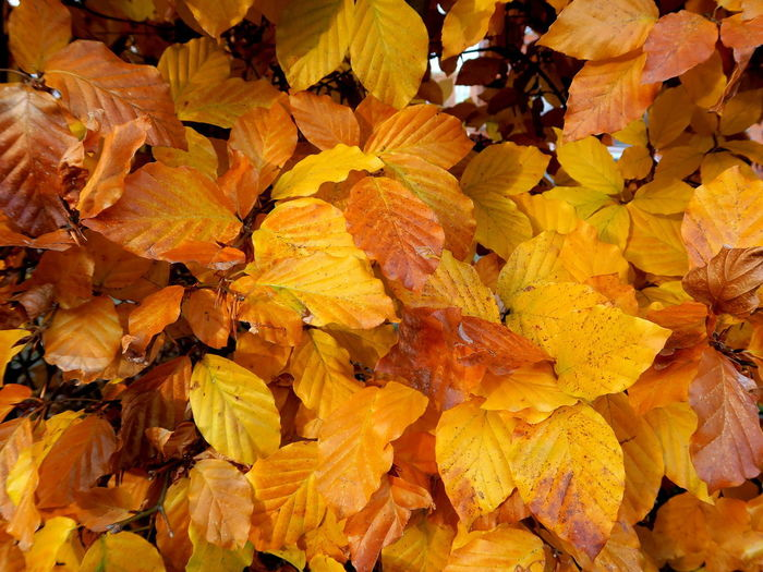 More Fall - shining bright Beech Hedge Beechleaves Autumn Plant Part Leaf Close-up Change Nature Leaves High Angle View Outdoors Fall Colors Fall Autumn Leaves Autumn Yellow Backgrounds Vulnerability  Beauty In Nature Fragility Orange Color Abundance Flower Natural Condition