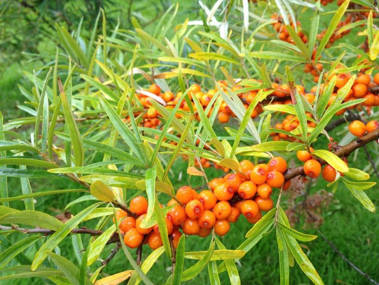 Hippophae Rhamnoides Beauty In Nature Close-up Day Food Food And Drink Fruit Green Color Nature No People Orange Color Outdoors Plant