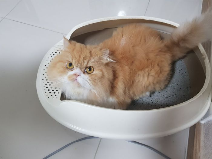 High angle portrait of cat in toilet