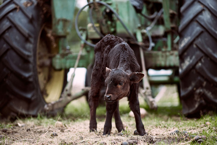 Close-up of calf standing on land