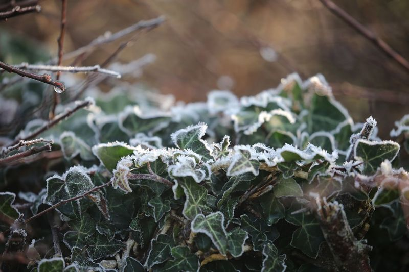 Frost decorated ivy. Ivy Cold Temperature Frozen Plant Winter Ice Focus On Foreground Nature Frost Day Close-up Beauty In Nature No People Fragility Growth Plant Part Branch Outdoors Leaf