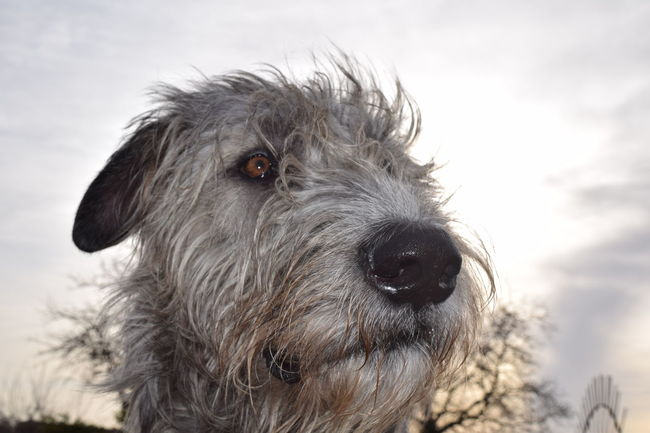 Animal Themes Animal Head  Portrait Close-up Outdoors Sky Domestic Animals Winter 2017 Spring Is In The Air March 2017 The Places I've Been Today How's The Weather Today? Bokeh Sunlight Dogwalk Dogslife Dog Of The Day Dogs Of Winter Dogs Of EyeEm Irish Wolfhound Looking At Camera Cearnaigh One Animal Animal Eye First Touch Of Spring