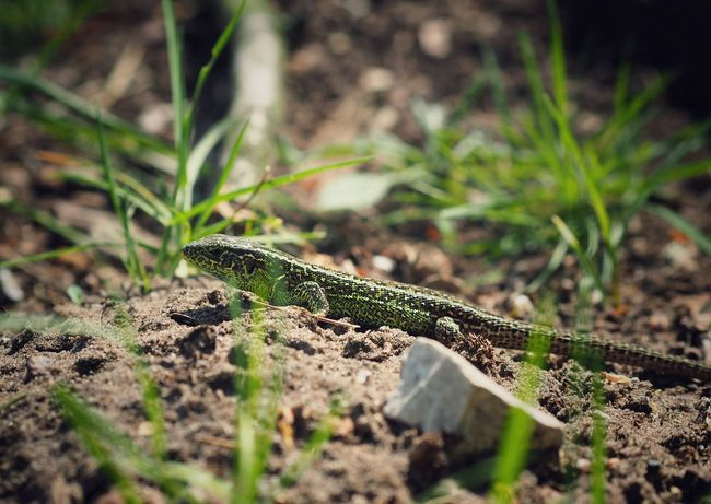 Lizard in the wild - 21.04.2018 - MAinLoveWithLife Little Lizard Sand Lizard In The Wild Wild And Free Free Freedom Animal Animals In The Wild Animals Lizards Animal Photography Nature Nature Photography Nature_collection Nature On Your Doorstep Beauty In Nature Beautuful Green Low Perspective Life Color Colorful Colors Of Nature Colors Of Life Reptile Camouflage Animal Themes Close-up Lizard