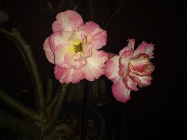 #rosadodeserto #adenium Flower Head Black Background Flower Peony  Pink Color Petal Close-up Plant