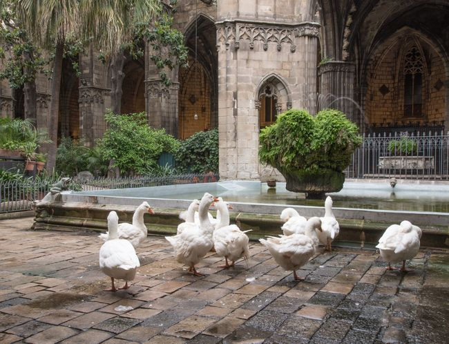 Geese Cathedral Barcelona
