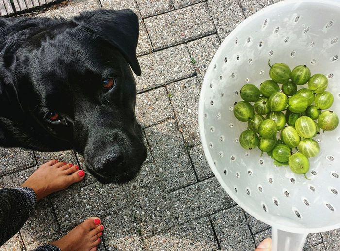Summer Showcase July Barefoot Labrador Dog Food Berries Jealous