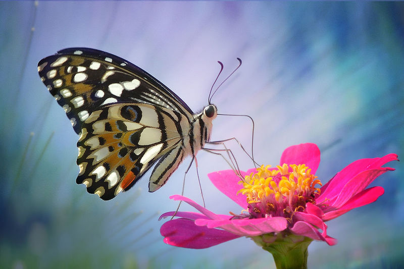 butterfly Animal Animal Themes Animal Wildlife Animal Wing Animals In The Wild Beauty In Nature Butterfly Butterfly - Insect Close-up Flower Flower Head Flowering Plant Fragility Freshness Insect Invertebrate Nature No People One Animal Outdoors Petal Pink Color Plant Pollination Vulnerability
