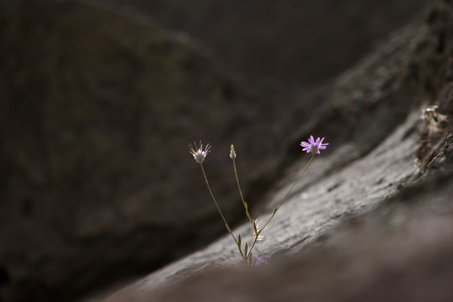 Wild Flower on the rock. Flower Flowering Plant Beauty In Nature Wild Flowers Wild Flower Wild Flower Photography Selective Focus Flower Head Plant Stem Nature North West Of Iran East Azarbayejan Province Kandovan East Azarbayejan Iran Kandovan Kandovan Village Iran Canon20d Close-up Plant Fragility Freshness Day Growth Focus On Foreground Beginnings