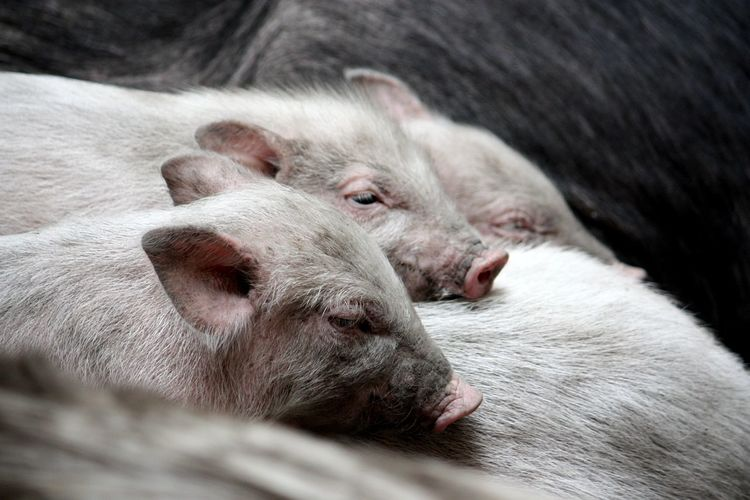 Close-up of piglets on pig