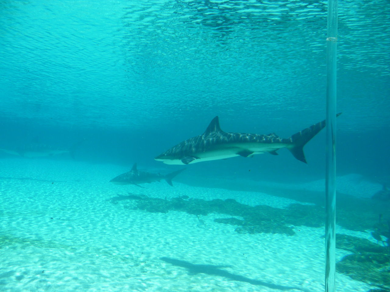 View Of Shark In Water