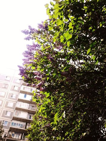 Foliage Green Beautiful Green Green Green!  Nature Spring Trees Spring Flowers Lilacs Smell The Lilacs
