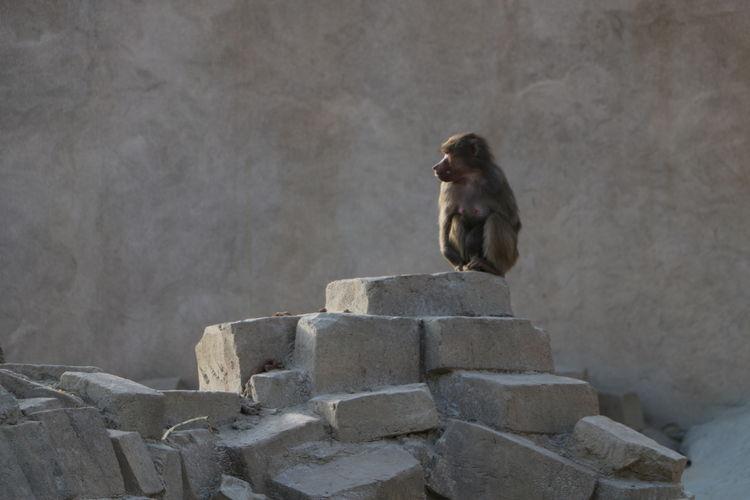 Monkey on stone wall