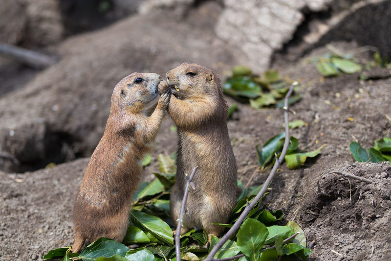 Two prairie dogs eating. Eating Prairie Dog Squirrel Standing Animal Animal Wildlife Fur Mammal Nature No People Prairie Dog Close Up Prairie Dogs Sand Squirrels Upright