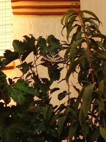 Papion Nature Papión Sagrado