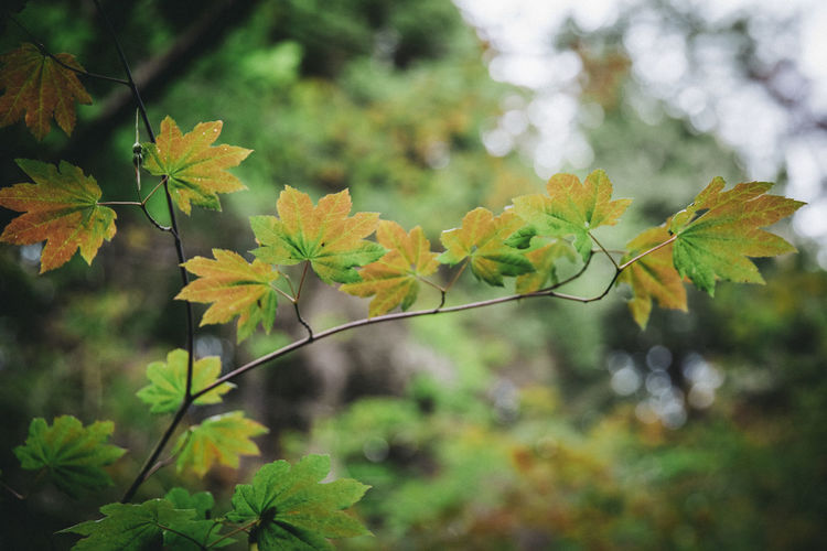 Close-up of yellow maple leaves against blurred background