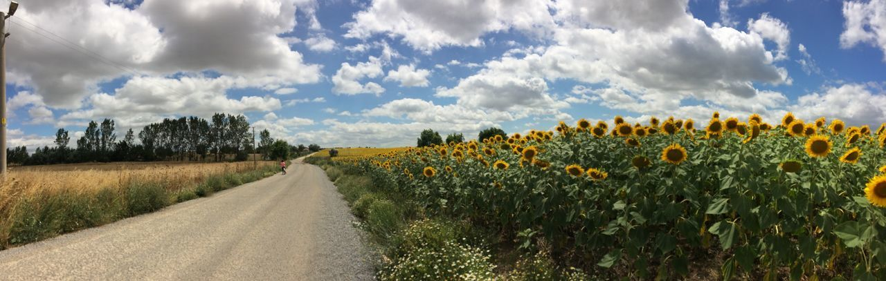 Sunflower fields Cloud - Sky Sky Field Growth Nature Outdoors The Way Forward Day Landscape Road Beauty In Nature Agriculture Plant Flower Panoramic EyeEm Selects Check This Out Nature Agriculture Taking Photos Field Clouds Blue Crop  View Let's Go. Together. EyeEm Selects EyeEmNewHere