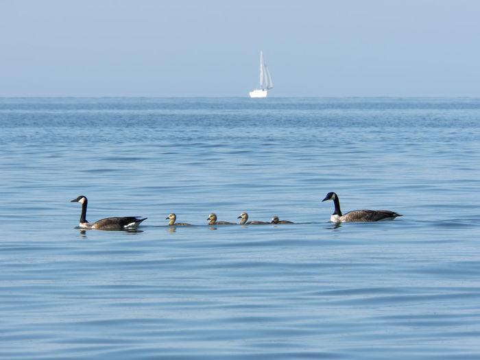 Geese Animal