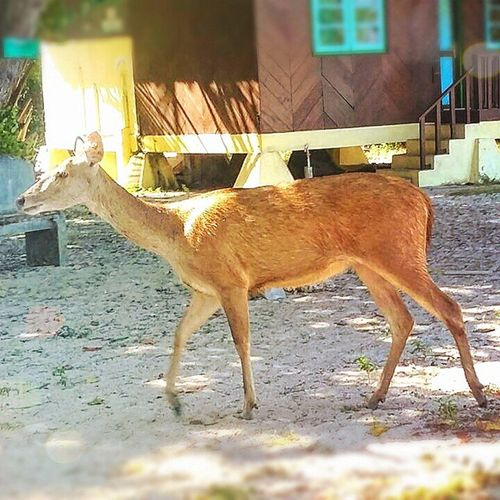 Oh, deer.. Baluran Balurannationalpark Jawatimur Java indonesia wildlife travel animal