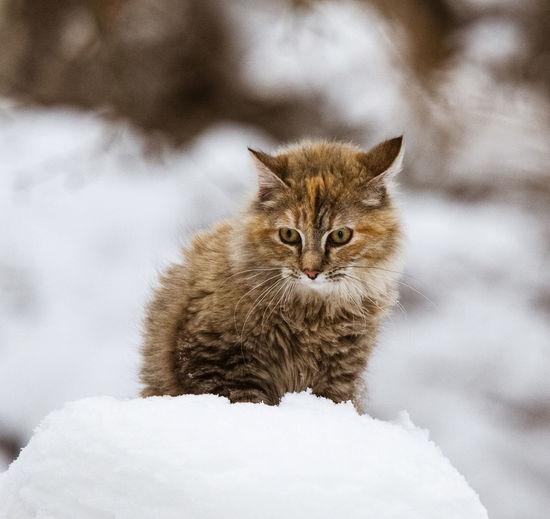 A cute, fluffy tricolor cat in the snow in winter Winter Cat Domestic Domestic Animals Mammal No People One Animal Pets Vertebrate