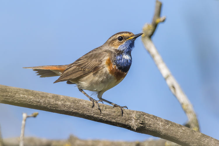 A white-spotted bluethroat on a branch Bird Animal Wildlife Animals In The Wild Vertebrate Animal Themes Animal Perching Branch One Animal Tree No People Focus On Foreground Plant Day Nature Low Angle View Outdoors White-spotted Bluethro Songbird  Singing Bird Blue
