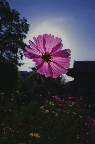 Flower Pink Color Plant Purple Beauty In Nature Fragility No People Outdoors Nature Flower Head Day Freshness Sky Close-up Day Time Photography Daylight Daydreaming 般若寺 奈良 コスモス 秋桜 Pink Flower 🌸 Cosmos Flower Travel Japan Photography