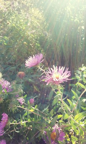 Flower Nature Beauty In Nature Pink Color No People Close-up Blossom Aster Outdoors Sunbeam