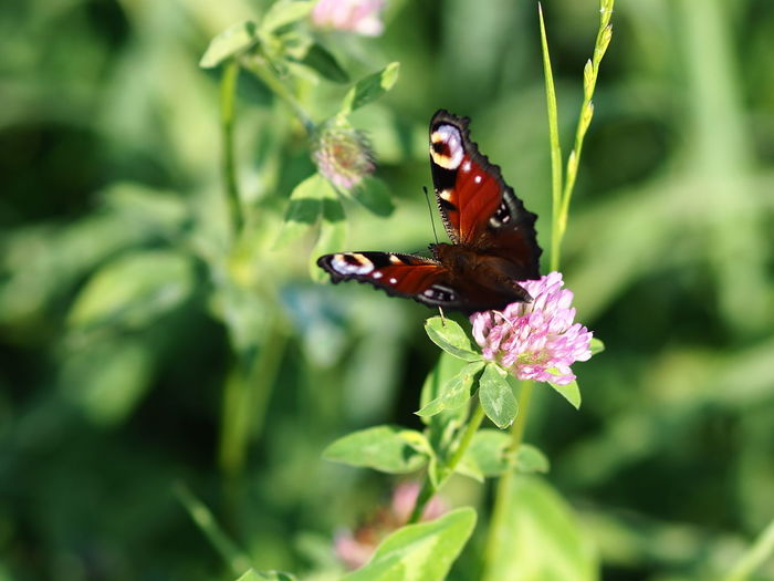 Animal Animal Themes Animal Wildlife Animal Wing Animals In The Wild Beauty In Nature Butterfly Butterfly - Insect Close-up Flower Flower Head Flowering Plant Fragility Green Color Growth Insect Invertebrate Nature No People One Animal Outdoors Peacock Plant Pollination Vulnerability