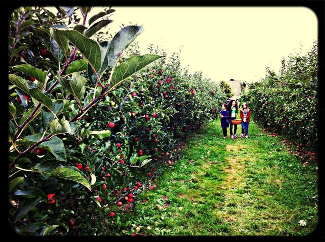 Hello Autumn! Picking apples at an apple orchard.....