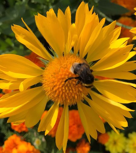 Bumblebee Flower Petal Yellow Fragility Flower Head Nature Freshness One Animal Insect Bee