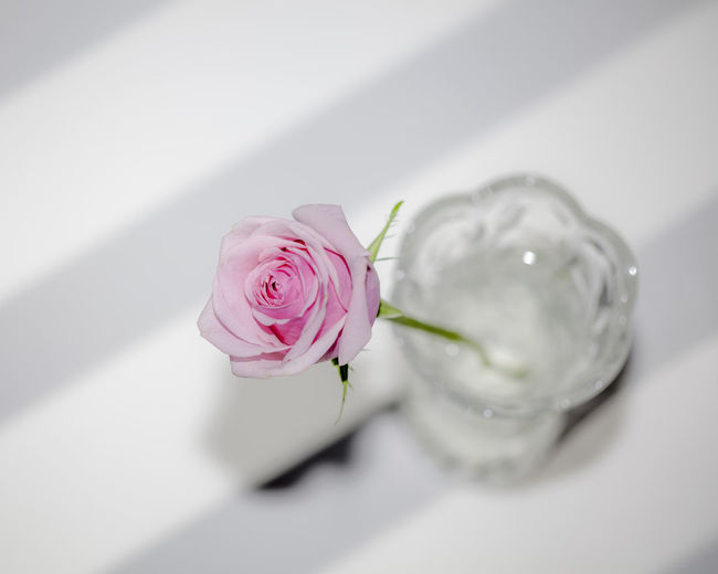 A pink rose in