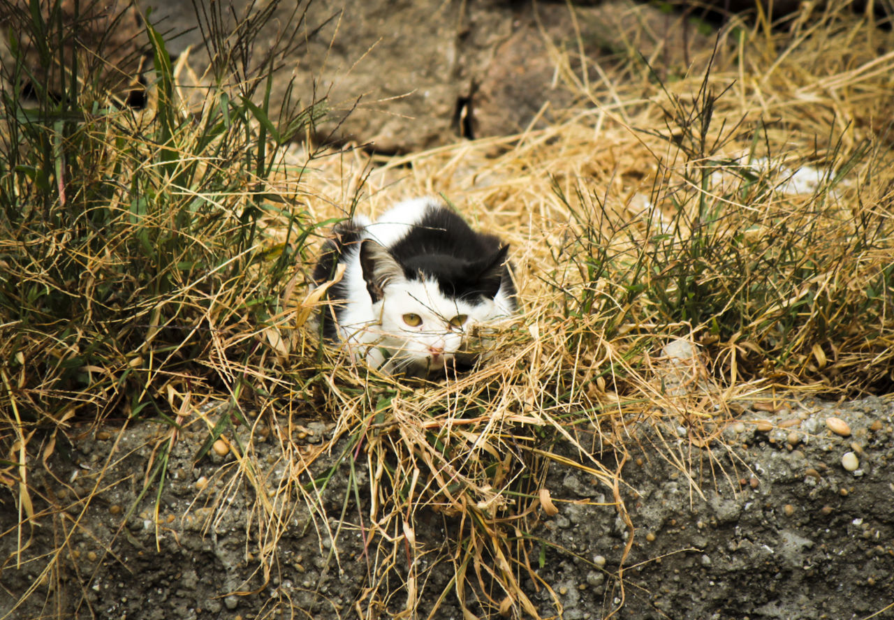 animal themes, one animal, domestic animals, grass, mammal, domestic cat, pets, no people, field, outdoors, day, nature, feline