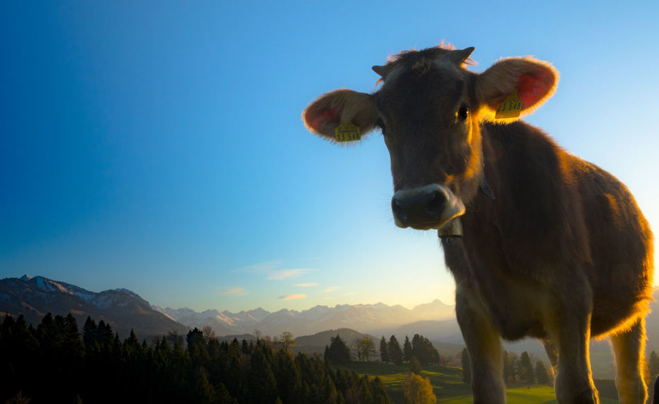 Alpenquietsch Animal Themes Beauty In Nature Cattle Clear Sky Cow Day Domestic Animals Livestock Low Angle View Mammal Mountain Nature No People One Animal Outdoors Sky Standing Tree