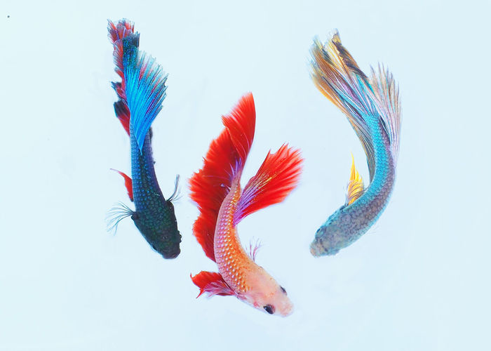 Green Red Animal Themes Blue Close-up Fish Nature Orange Color White Background