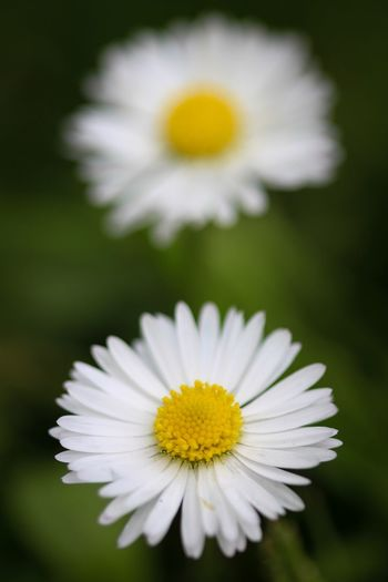 Beauty in Nature Flowering Plant Flower Freshness Plant Petal Yellow Beauty In Nature Vulnerability  Inflorescence Flower Head Close-up Fragility Growth Daisy White Color Pollen Nature No People Focus On Foreground Outdoors