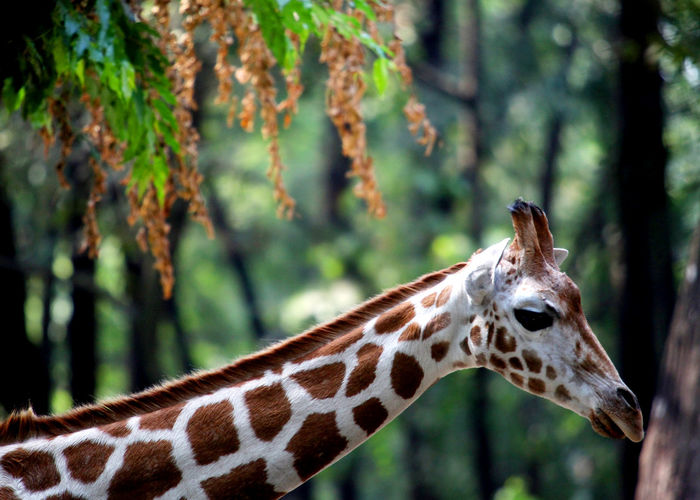 Close-up of giraffe in forest