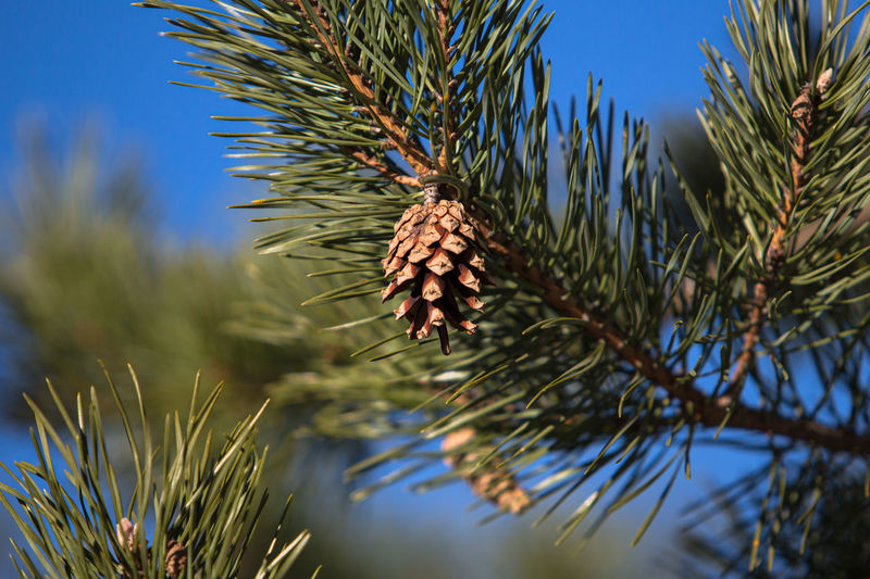 Close-up of pine cone on tree against sky