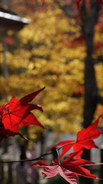 Autumn Beauty In Nature Branch Change Close-up Day Focus On Foreground Fragility Growth Leaf Leaves Maple Leaf Maple Tree Natural Condition Nature No People Orange Color Outdoors Red Scenics Season  Springtime Tranquil Scene Tranquility Vibrant Color