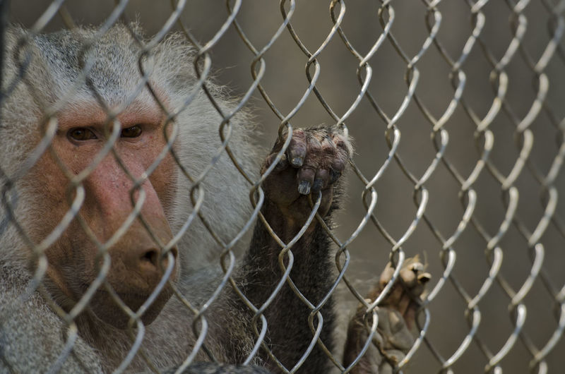 Monkey on chainlink fence in cage at zoo
