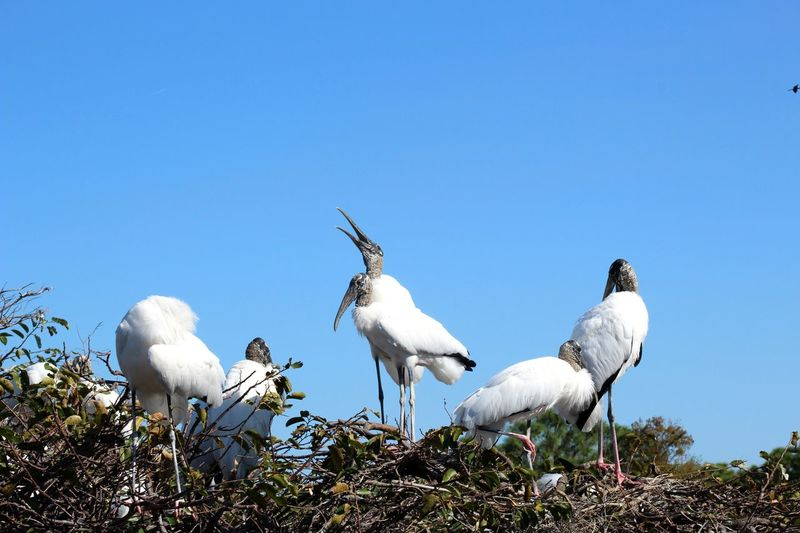 Shout it from the rooftops! Wood Storks Sky Bird Group Of Animals Animal Themes Animal Clear Sky Vertebrate Nature Low Angle View No People Animal Wildlife