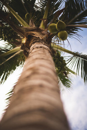 Sky Coconut Beauty In Nature Branch Close-up Day Focus On Background Green Color Growth Leaf Low Angle View Nature No People Outdoors Palm Tree Selective Focus Sky Tree Tree Trunk