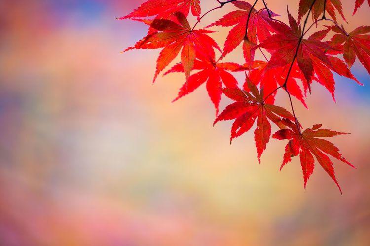 鳥見山公園の紅葉2 Autumn Leaves Red Book Cover Beauty Multi Colored Maple Leaf Leaf Autumn Red Branch Backgrounds Autumn Collection Countryside
