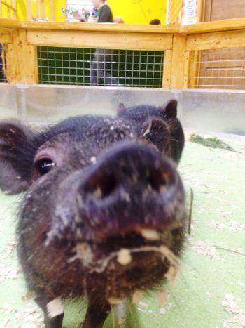 поросенок Pig