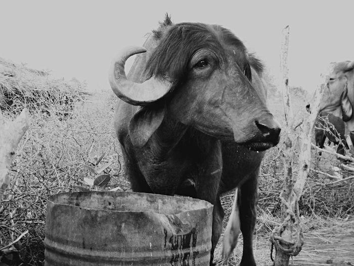 buffalo .. gir jungle Team @team