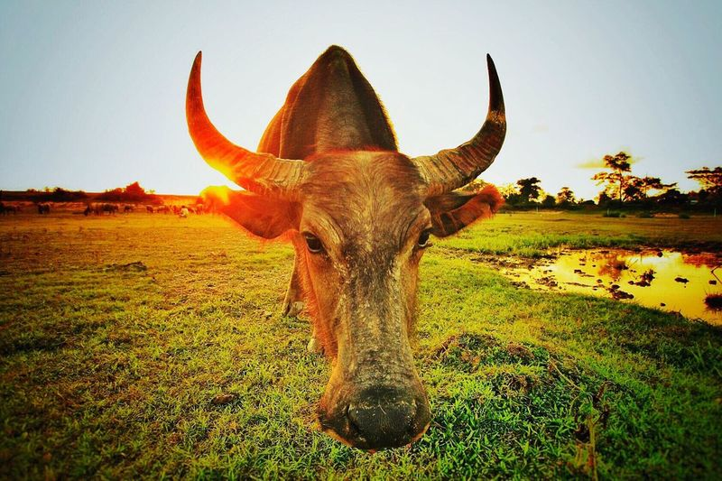 Nature Cow Sky Day Beauty In Nature